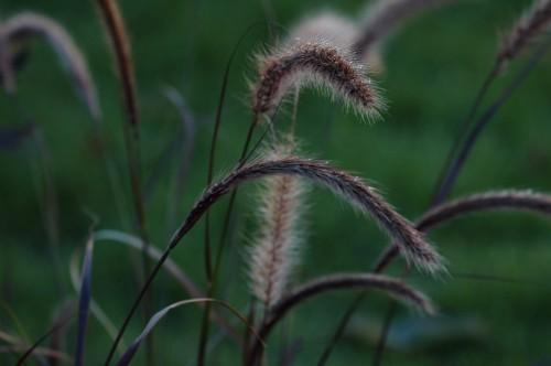 Høstfukt på aksene til et av hagens nye gress.