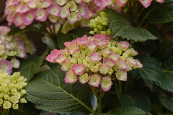 Tett på en svakt rosa variant.