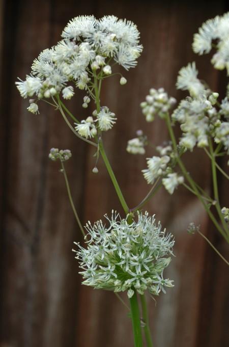 Hvit allium og hvit akeleiefrøstjerne passer godt sammen.