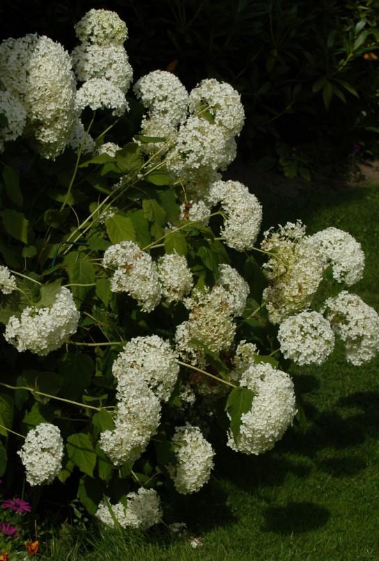 Vakker, hvit og blomstrer rikelig.
