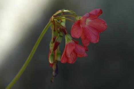 Blomster på kløver