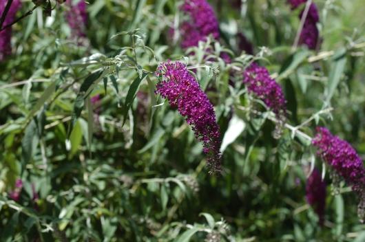 Sommerfuglbusk, Buddleia. Vi har prøvd denne i hagen en gang uten hell. Kanskje vi skal prøve igjen.