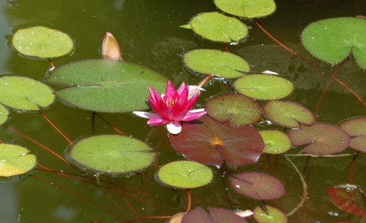 Her var der også et basseng med vannliljer.