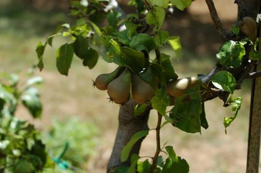 Oppstammet pæretre. Det står på ønskelisten her hjemme.