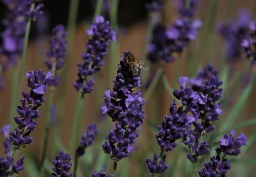 Lavendelen tiltrekker seg også mange insekter, og det vil vi jo.