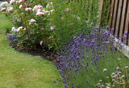 Lavendelen passer fint sammen med rosene her.