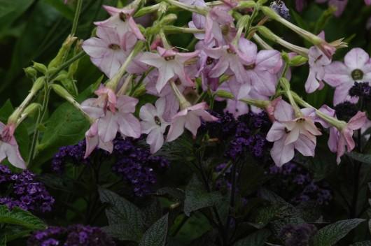 Lys lilla og heliotrop. Begge er blomster som dufter.