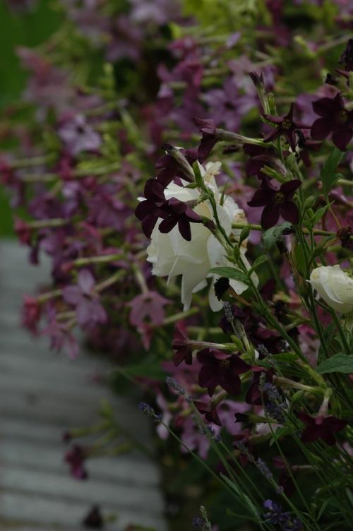 De lilla passer supert til den hvite Karen Blixen rosen.