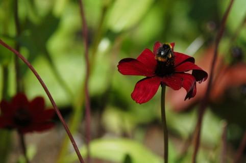 Humla koser seg med nektar.