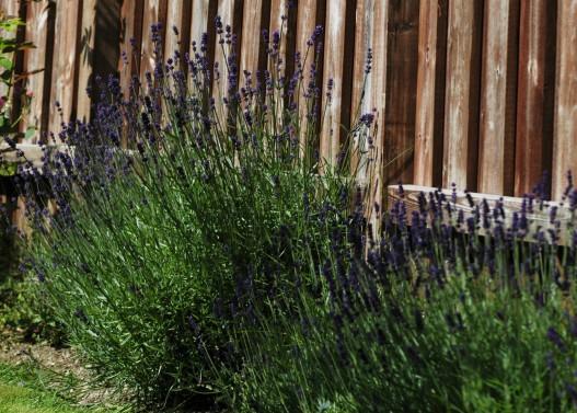 Dette er en av de eldste plantene. Den trives godt i varmen ved gjerdet.