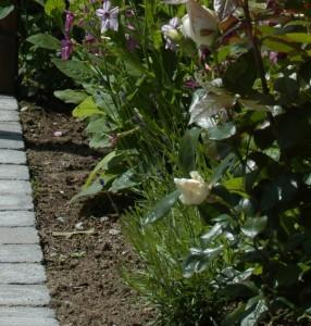 Her er resultatet av stiklingene tidlig på sesongen. De er mye kraftigere nå. Lavendel og roser passer sammen.