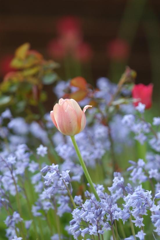 Denne lyserøde tulipanen, og flere av samme slaget, pluss noen røde,  har blomstret i dette bedet i over 20 år. Det er i grunnen ganske fantastisk så hardføre de er.